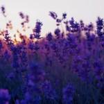 field-lavender-purple-flowers-nature-photo-1