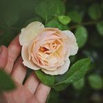 rose-691996_960_720