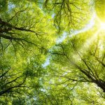 17897591-The-warm-spring-sun-shining-through-the-canopy-of-tall-beech-trees-Stock-Photo