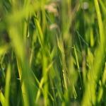 grass_close_up_by_nxsvinyard-d507yfk