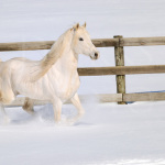 White-Horse-Running-in-Snow-Arabian-Stallion-13125