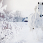beautiful_white_horse