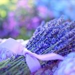 lavender-2482374_960_720