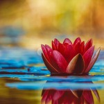 water-lily-3784022_960_720