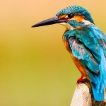 kingfisher-2046453_960_720
