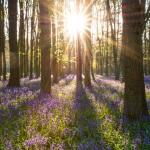 Woodland-Management-Bluebells