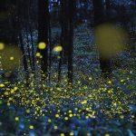 fireflies-lightning-bugs-e1497541386663-1024x578