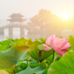 hangzhou west lake Lotus in full bloom in a misty morning,in China